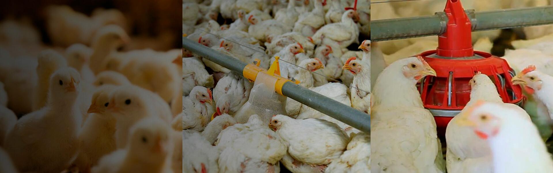 Pollo BB Cobb 500, núcleos nutricionales