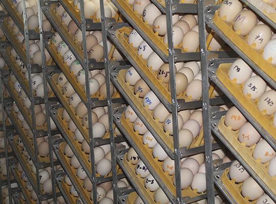 Servicio de Incubación de huevos de pollo de carne